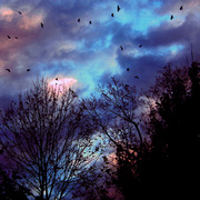 Crows___clouds_november_2007_card