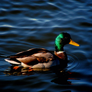 Mallord_duck_edited_iii_card