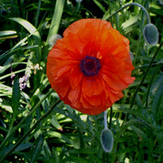 Poppy_single_050606_card