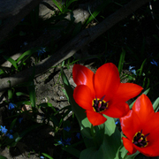 Tulip_twins_copy_card