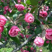 Pink_crabapple_card