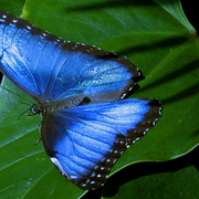 Butterfly_blue_iii_2008b_card