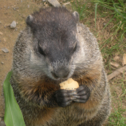 Grasping_groundhog_card