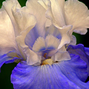20080525_1018edited_blue___white_iris_iiipse4ab_card