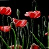 Poppyblackbackground_thumb