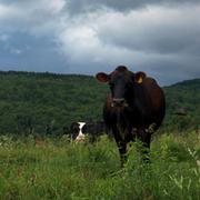 Cow_attitude_card