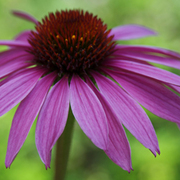 Cone_flower_card