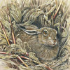 Brown-hare---maize-field-a3_thumb