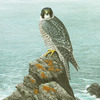 North-coast-peregrine-_thumb
