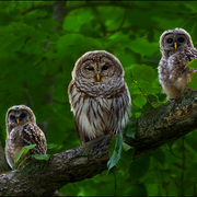 Owl_family_card