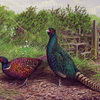 2_july_saints__way_-_pheasants_thumb