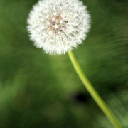 Dandilion_vertical_1218_card
