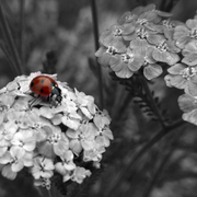Lady_bug_bw__1218_card