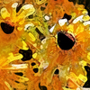 Black-eyes_susans_j__5268-1_725-2_thumb