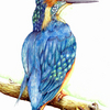 Kingfisher_thumb