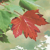 Red_maple_thumb