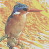 Malachite_kingfisher_thumb