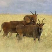 Eland_card