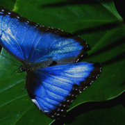 Butterfly_blue_iii_2008bab1_card