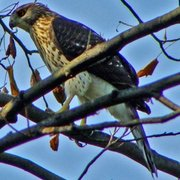 Cooper_s_hawk-cropped_card
