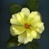 Yellow_rose_on_blue_copy_thumb