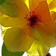 Yellow_rose_trans1_copy_card