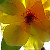Yellow_rose_trans1_copy_thumb
