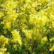 Wattle_3_card