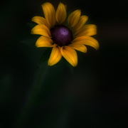 Black_eyed_susan_card