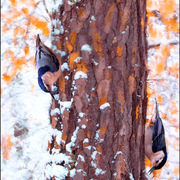 Nuthatches_card
