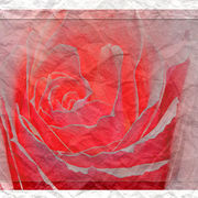 Creased_rose_card