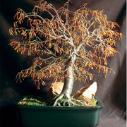 Autumn_bonsai_72_dpi_card