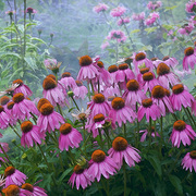 Coneflowers_card