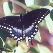 Spicebushswallowtail_card