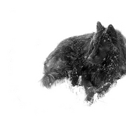 Black_dog_in_snow_card