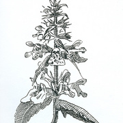 2007-stachys_palustris_card