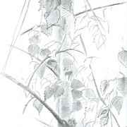 2007-birch-tree-graphite_card