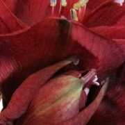 Utsnitt_amaryllis_card