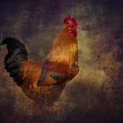 Rooster_card