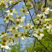 Dogwood_blossoms_may_2006_b_enhance_card