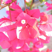 Bouganville_flower_shot_of_pink-_card