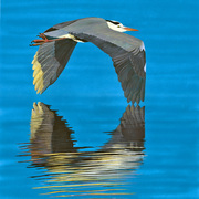 Grey_heron_card