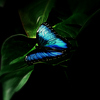 Butterfly_blue_2008azz_thumb