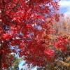 Redtree1_thumb