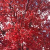 Redtree2_thumb