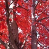 Redtree3_thumb