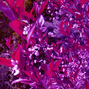 Purple_leaves_card