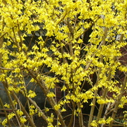 Forsythiabush_card