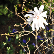 Magnolia_spring_splash_ab_card