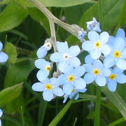 Forget-me-nots2_card